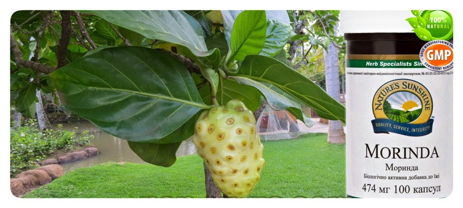 morinda citrifolia research paper Morinda citrifolia (noni): a literature review and recent advances in noni research wang my, west bj, jensen cj, nowicki d, su c, palu ak, anderson g university of illinois college of medicine, department of pathology.